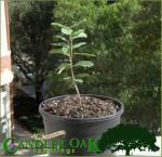 Candler Oak seedling