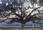 Candler Oak